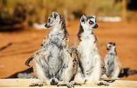 Ring-tailed lemur (Euarchontoglires, Primates, Strepsirhini, Lemuridae, Lemur catta), Madagascar, Africa