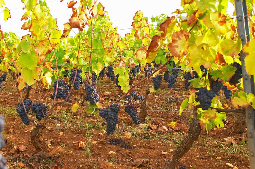 pinot noir guyot training vineyard beaune cote de beaune burgundy france