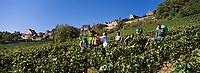 Europe/France/89/Bourgogne/Yonne/Chablis : Vendanges manuelles à Chablis - AOC Chablis