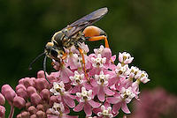 Great Golden Digger Wasp (Sphex ichneumoneus) drinking nectar of Swamp Milkweed (Asclepias incarnata), Franklin County, Ohio, USA.