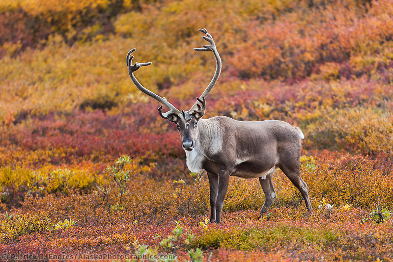 Bull caribou in colorful autumn tundra, Denali National Park, Interior, Alaska.