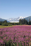 Alaska, Juneau: Mendenhall Glacier at Juneau.  Fireweed flowers.  .Photo #: alaska10018 .Photo copyright Lee Foster, 510/549-2202, lee@fostertravel.com, www.fostertravel.com.