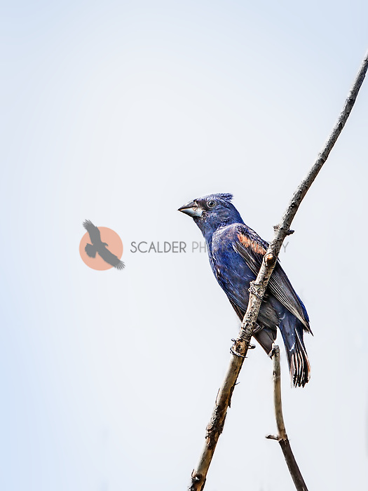 Male Blue Grosbeak perched on limb