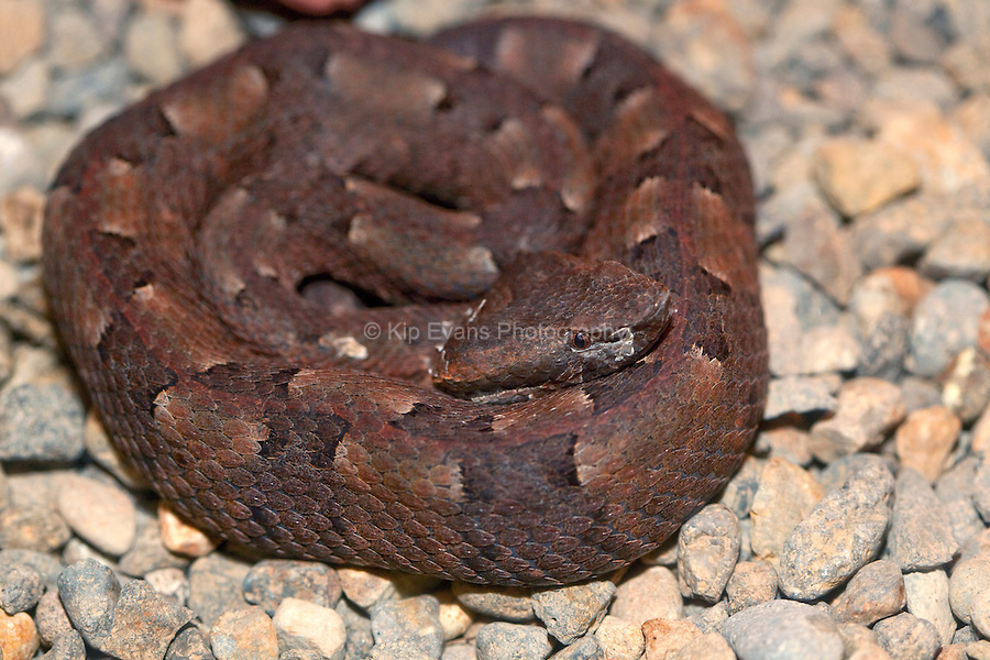 A hog nosed pit viper (Bothrops nasutus) coiled up in Costa Rica.