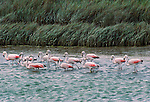 Chilean flamingos, Argentina