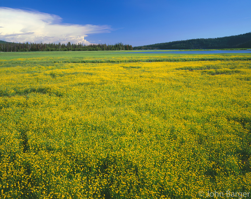 USA, Oregon, Deschutes National Forest, Extensive bloom of subalpine buttercup in wet meadow near Sparks Lake.