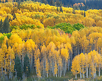 Gunnison National Forest, West Elk Mountains, CO: Aspen hillside in fall