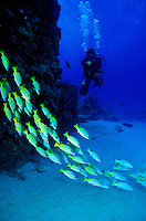 A scuba diver explores the coral reef of Hawaii. Bluestripe Snappers are in the foreground.