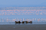 African Buffalo and Flamingos at Lake Manyara in Africa