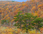 Shenandoah National Park, VA: A stand of pines against a fall colored hillside of deciduous trees on Skyline drive