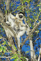 Verreaux's Sifaka (Propithecus verreauxi), adult in tree, Madagascar, Africa