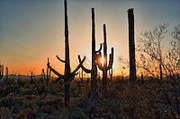 This is an image we capture of the Saguaro Cactus right at sunset as the sunset sparkled thought the branch of the cacti. You can see these proctected species so you cannot find them anywhere esle but in Arizona.Saguaros have a relatively long lifespan. They may grow their first side arm any time from 75–100 years of age, but some never grow one at all. A saguaro without arms is called a spear. The arms are grown to increase the plant's reproductive capacity (more apices lead to more flowers and fruit). The growth rate of saguaros is strongly dependent on precipitation; saguaros in drier western Arizona grow only half as fast as those in and around Tucson, Arizona. Saguaro grow slowly from seed, and never from cuttings, and specimens may live for more than 150 years; and grow to be over 40 ft tall.[3] The largest known living saguaro is the Champion Saguaro growing in Maricopa County, Arizona, and is 13.8 m (45.3 ft) tall with a girth of 3.1 m (10 ft). The tallest saguaro ever measured was an armless specimen found near Cave Creek, Arizona; it measured 78 feet (24 m) tall before it blew over in a windstorm in 1986.