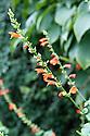 Salvia subrotunda, mid October.