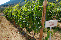 Vines. Roditis vine variety. Biblia Chora Winery, Kokkinohori, Kavala, Macedonia, Greece