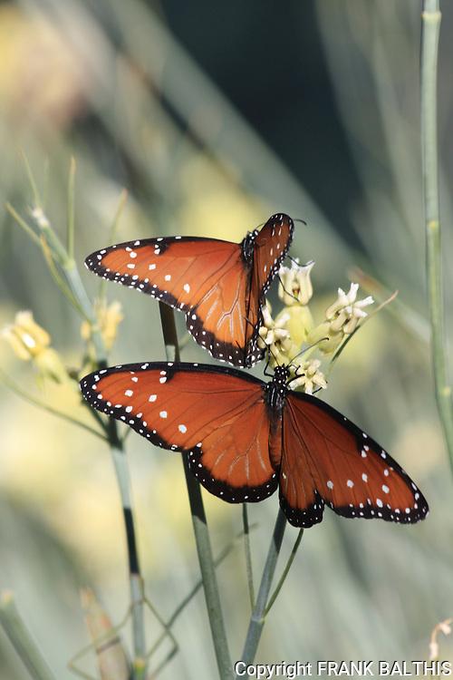 Queen butterflies on milkweed in Rancho Mirage