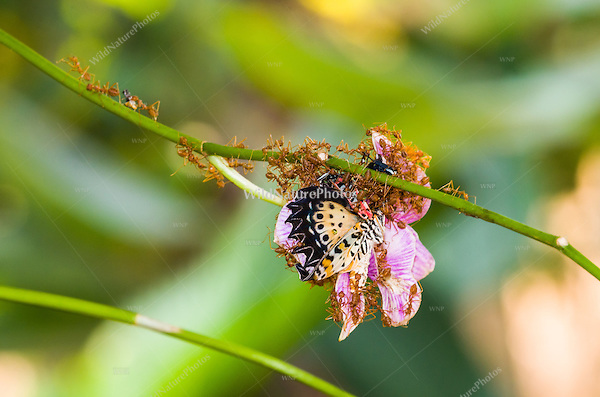 Predatory Weaver Ants (Oecophylla smaragdina) attack a live Leopard Lacewing (Cethosia cyane) butterfly on an orchid and carry it off to a nest, where it will be torn apart and used to feed ant larvae. The larvae of these ants are used for food and medicine by the local people. (Cambodia)