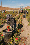 Organic red bell pepper harvest by migrant workers near San Lucas, in the Salinas Valley of California