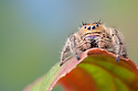 Regal Jumping Spider {Phidippus regius} female. Captive, originating form North America.
