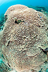 Pisang Islands, Ceram Sea, Indonesia; a large colony of brain coral covering the reef