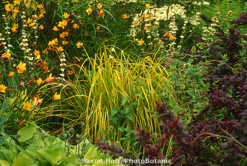 yellow foliage grass, Carex elata 'Aurea', Hemerocallis with daylily 'Corky', purple Berberis,  garden tapestry