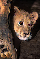 656259139 a very young african lion cub panthera leo peers out from behind a large log at a wildlife rescue facility species is native to sub-saharan africa