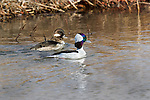 Pair of Male and Female Bufflehead Ducks swimming side by side