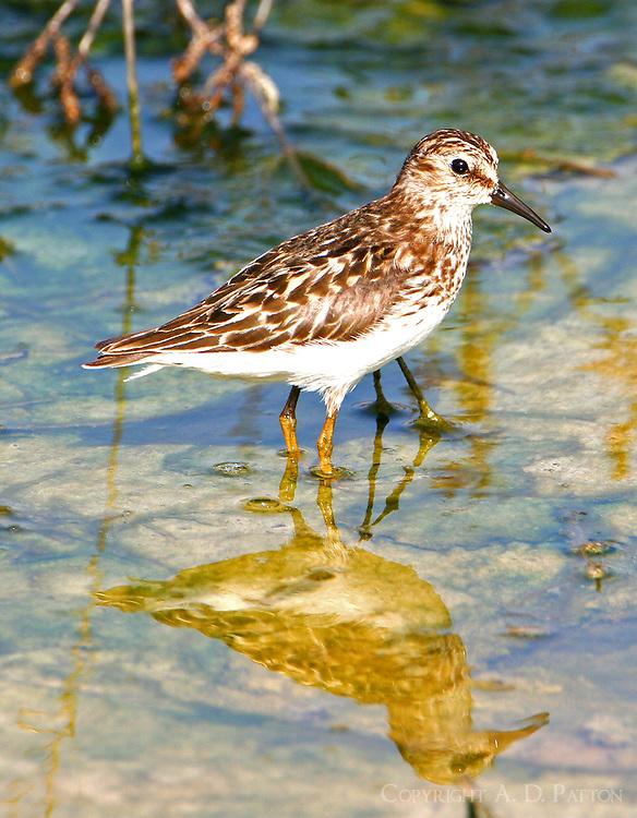 Adult least sandpiper in breeding plumage