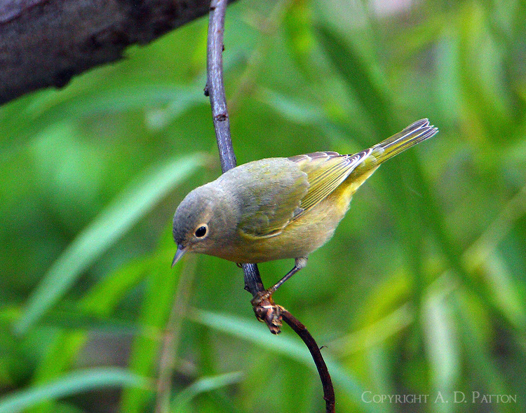 Female Nashville warbler in fall migration
