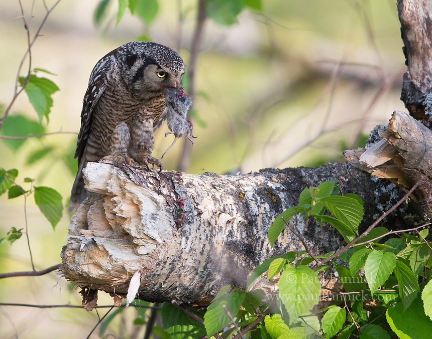 A Northern Hawk Owl prepares to deliver prey to fledlings.