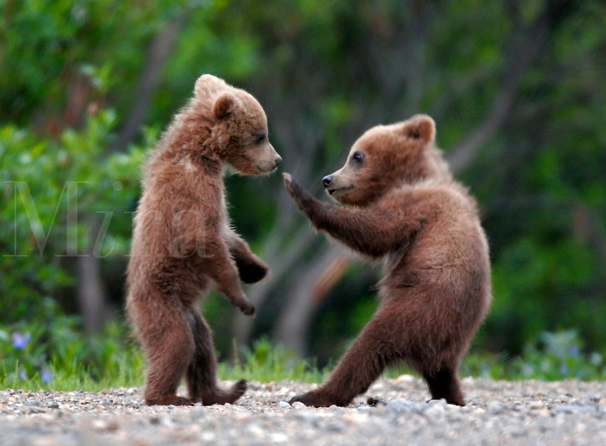 Spring cubs, grizzly or brown bear (Ursus arctos)  in Denali National Park, Alaska.