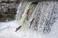 Coho or silver salmon (Oncorhynchus kisutch) jumping falls on spawning migration.  Pacific Northwest.  October.  Wild fish not hatchery fish.  This is a digital composite--two of these fish were added, though all were photographed at this falls within about an hour of each other.