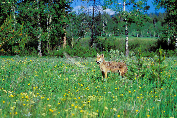 Wild coyote stands in meadow surrounded by flowers.  Western U.S., June.