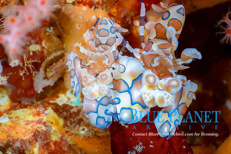 Harlequin shrimp Hymenocera picta pair protecting their hard won food a linkia sp. sea star, Koh Ha, Andaman Sea, Indian Ocean, Thailand, Asia