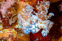 Harlequin shrimp Hymenocera picta pair protecting their hard won food a linkia sp. sea star, Koh Ha, Andaman Sea, Indian Ocean, Thailand, Asia