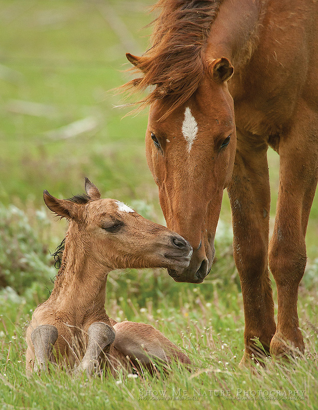 "Boxed set of 10 Newborn Wild Horse foal with Mom note cards (folded, blank inside), 10 cards of the pictured image, and 10 blank, white envelopes. To purchase, click on image until a ""Buy Prints"" button appears above the image."