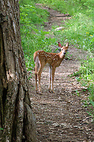 Fawn in Shenandoah National Park