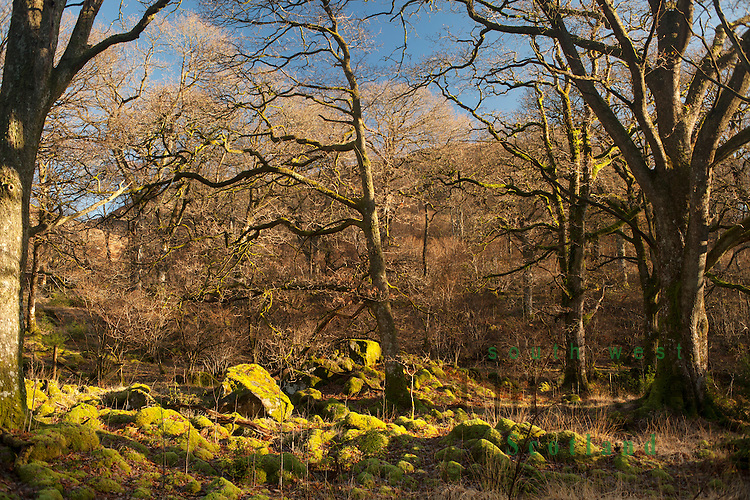 "The ancient oak woodland here was once part of the great ""Forest of Buchan"" and is considered to be the least spoiled natural sessile oak woodland in Scotland, Glen Trool, Galloway Forest Park, UK"