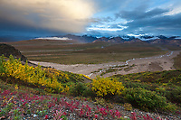 Autumn red leaves of the fireweed plant. Clouds colored by evening sunshine hover over the river drainages near the Polychrome mountains in Denali National Park, Interior, Alaska.