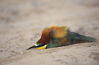 European Bee-eater, Merops apiaster, adult taking dust bath, Scrivia River, Italy, May 1997