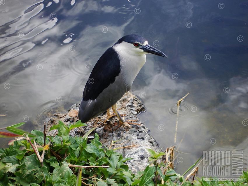 Hawaiian Heron