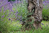 Europe/France/Provence-Alpes-Côte d'Azur/84/Vaucluse/Lubéron/Gargas :  Lavande et olivier - Terrasse du restaurant: Le Jardin dans les Vignes Hôtel: Domaine de la Coquillade