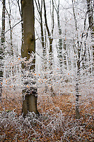 Hoar frost on winter's day in woodland in The Cotswolds, Gloucestershire