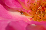 Iridescent Gold Jumping Spider on Rose, Grapevine Spider, Southern California