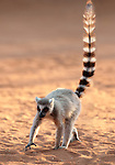 Ring Taiedl Lemur, Lemur catta, Berenty National Park, Madagascar, walking on all fours, tail up,desert shrubland