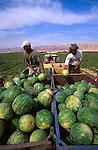 Palestinian territories, Jordan Valley, watermelon field in Jericho