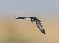 White-winged Black Tern - Chlidonias leucopterus<br /> juvenile / 1st autumn