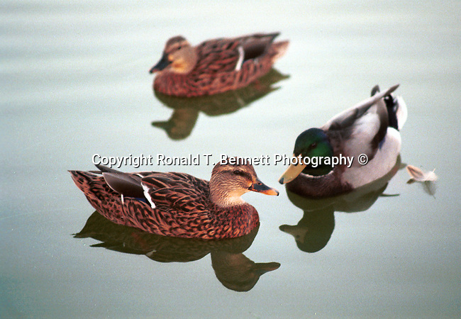 Wild mallard ducks swim together, Mallard, Duck, quack, wild Mallard ducks, anatidae, duckling, aquatic birds, animalia, Chordata, Aves, waterfowl, Animal, wild animals, domestic animals,  Fine Art Photography, Ronald T. Bennett (c), Fine Art Photography by Ron Bennett, Fine Art, Fine Art photography, Art Photography, Copyright RonBennettPhotography.com ©