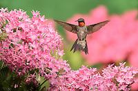 Ruby-throated Hummingbird (Archilochus colubris), adult male in flight feeding on pink Penta flower, New Braunfels, Central Texas, USA