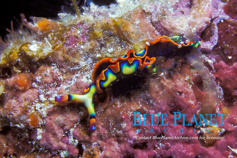 painted Elysia or painted sea slug, Thuridilla picta, (Elysia picta), West End, Grand Bahama Island, Bahamas, Caribbean (Western Atlantic Ocean)