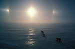 Polar bears travel across the ice as sundogs shine in the sky above them.<br /> Canada